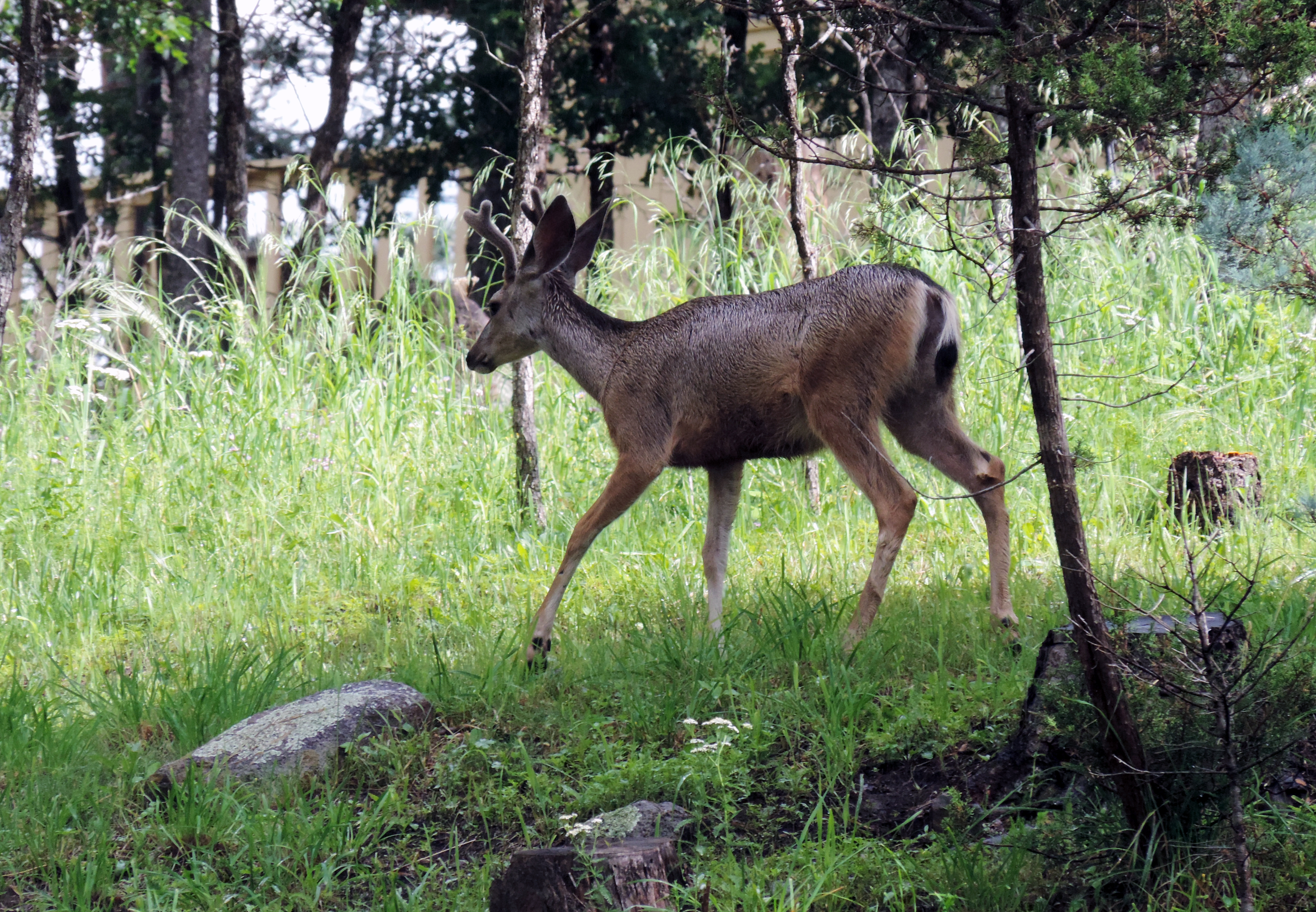 chronic wasting disease in deer Chronic wasting disease (cwd) is a fatal, neurological illness occurring in north american cervids (members of the deer family), including white-tailed deer, mule.